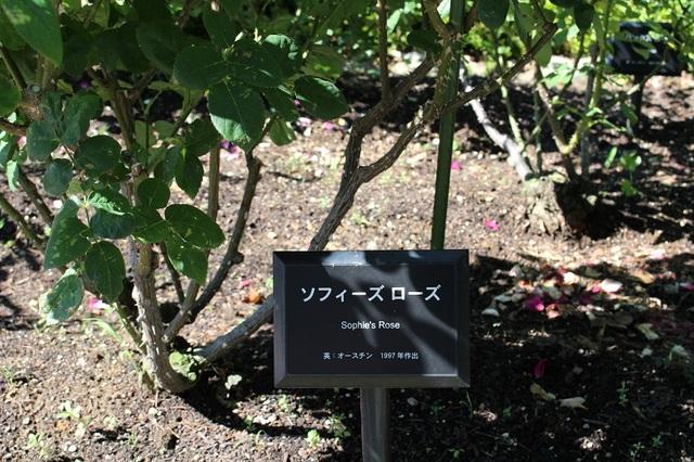 20170728-002-IMG_2894ソフィーズ・ローズ.jpg