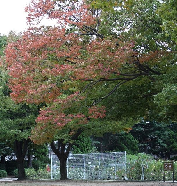 20171101-002-IMG_4598バラ園内紅葉.jpg
